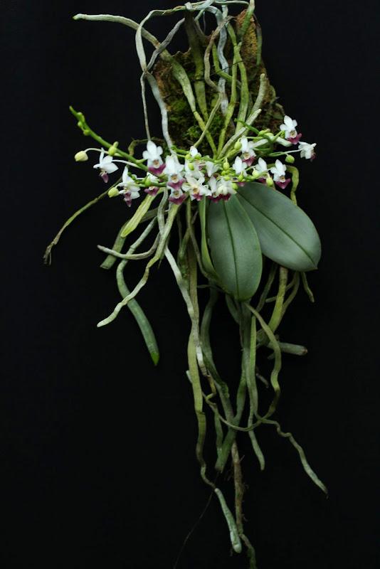 Phalaenopsis parishii IMG_1329