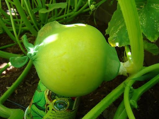 Jolly Green Hosiery