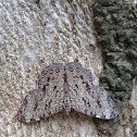 Mariposa Tronadora