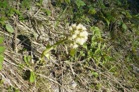 Lapiężnik biały petasites albus
