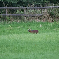 Woodhurst Wildlife Muntjac In The Grassfield