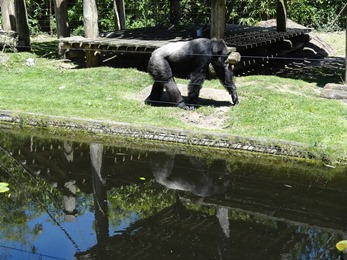 2017.06.17-006 chimpanzé