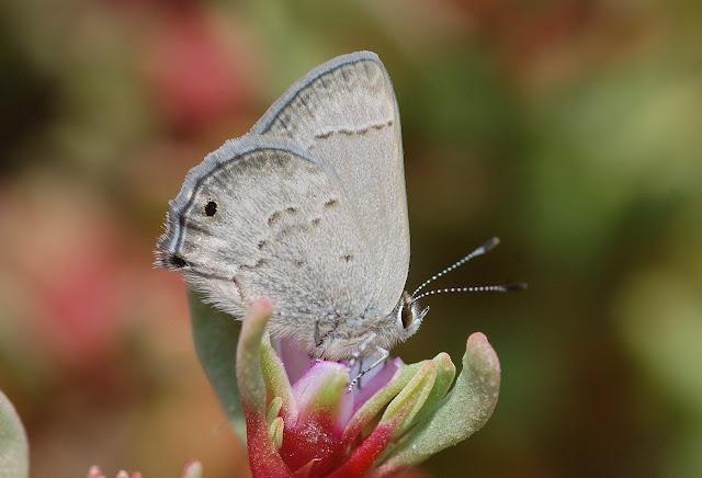 Lycaenidae : Strymon sp. (Strymon istapa istapa REAKIRT, [1867] ?). Naplo (au sud de Lima, Pérou), 11 janvier 2011. Photo : Meena
