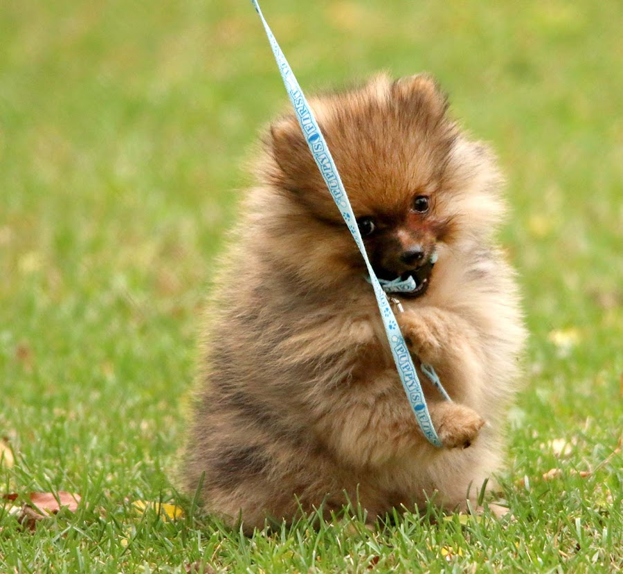 Playing with my leash by Sue Connor - Animals - Dogs Playing ( teddy bear pomeranian, puppy, pomeranian )
