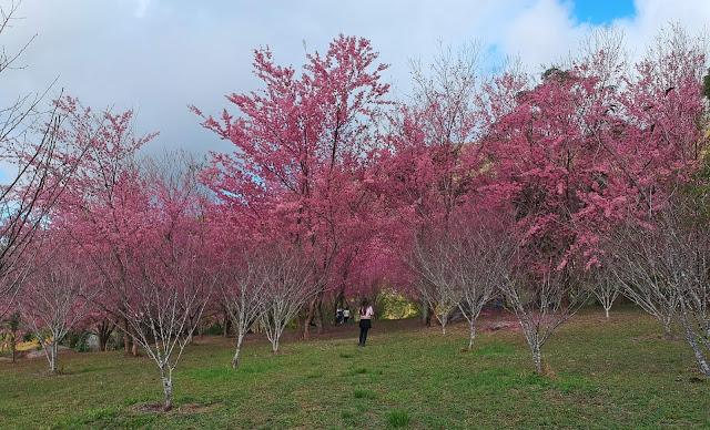 Bosque de Cerejeiras Kaoru Kumazawa, Pedra Azul, ES.