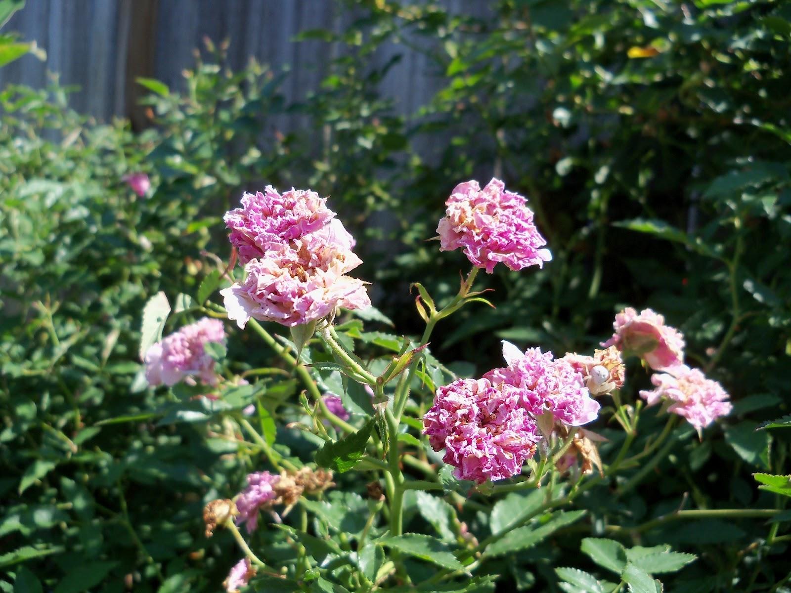 Gardening 2011 - 100_9075.JPG