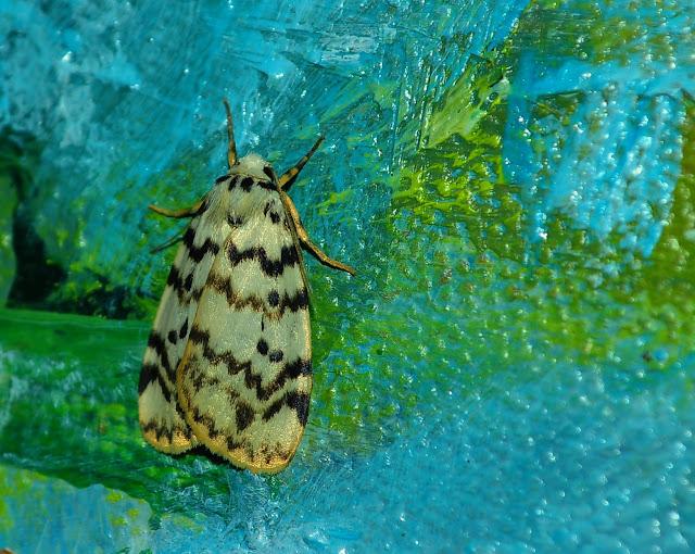 Arctiidae : Lithosiinae : Hectobrocha pentacyma MEYRICK, 1886. Umina Beach (New South Wales, Australie), 16 mars 2011. Photo : Barbara Kedzierski