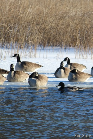 Canada Geese on the ice  and a Mallard Duck