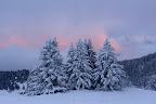 RASSEMBLES POUR L'HIVER   Bosquet d'épicéas près du sommet du Semnoz, Novembre 2013