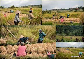 Tarasy ryżowe w okolicy Jatiluwih