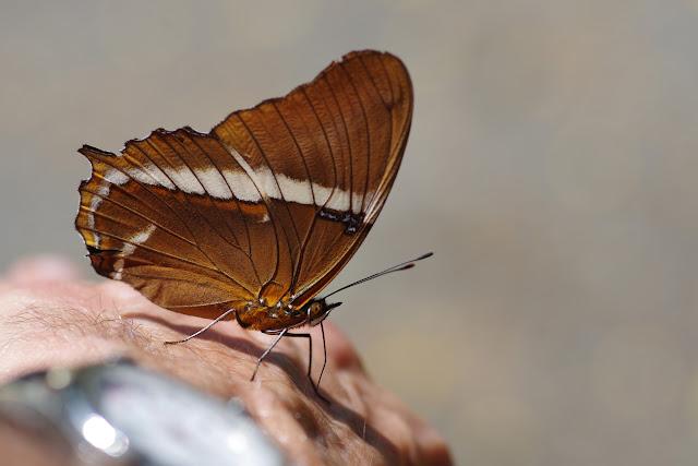 Siproeta epaphus epaphus (Latreille, [1813]). Quebrada Chirajara, 1050 m (Cundinamarca, Colombie), 10 novembre 2015. Photo : J.-M. Gayman
