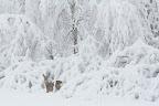TABLEAU BLANC   Chevreuil en gagnage en lisière forestière dans une tourbière boisée aux Rousses, Noel 2013