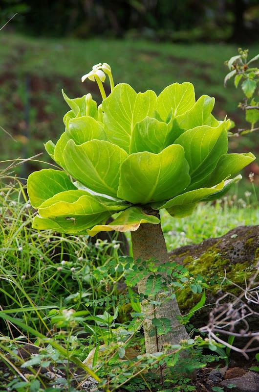 06-26-13 National Tropical Botantial Gardens - IMGP9449.JPG