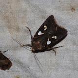 Noctuidae : Xyleninae : Calymniodes conchylis GUENÉE, 1852. Los Cedros, 1400 m, Montagnes de Toisan, Cordillère de La Plata (Imbabura, Équateur), 18 novembre 2013. Photo : J.-M. Gayman