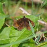 Erebia aethiops (ESPER, 1777). Paulhac-en-Margeride, 1230 m (Lozère), 19 août 2013. Photo : J.-M. Gayman