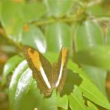 Adelpha cocala cocala CRAMER, [1779] . Layon près de Camp Patawa, Montagne de Kaw (Guyane). 15 novembre 2011. Photo : J.-M. Gayman