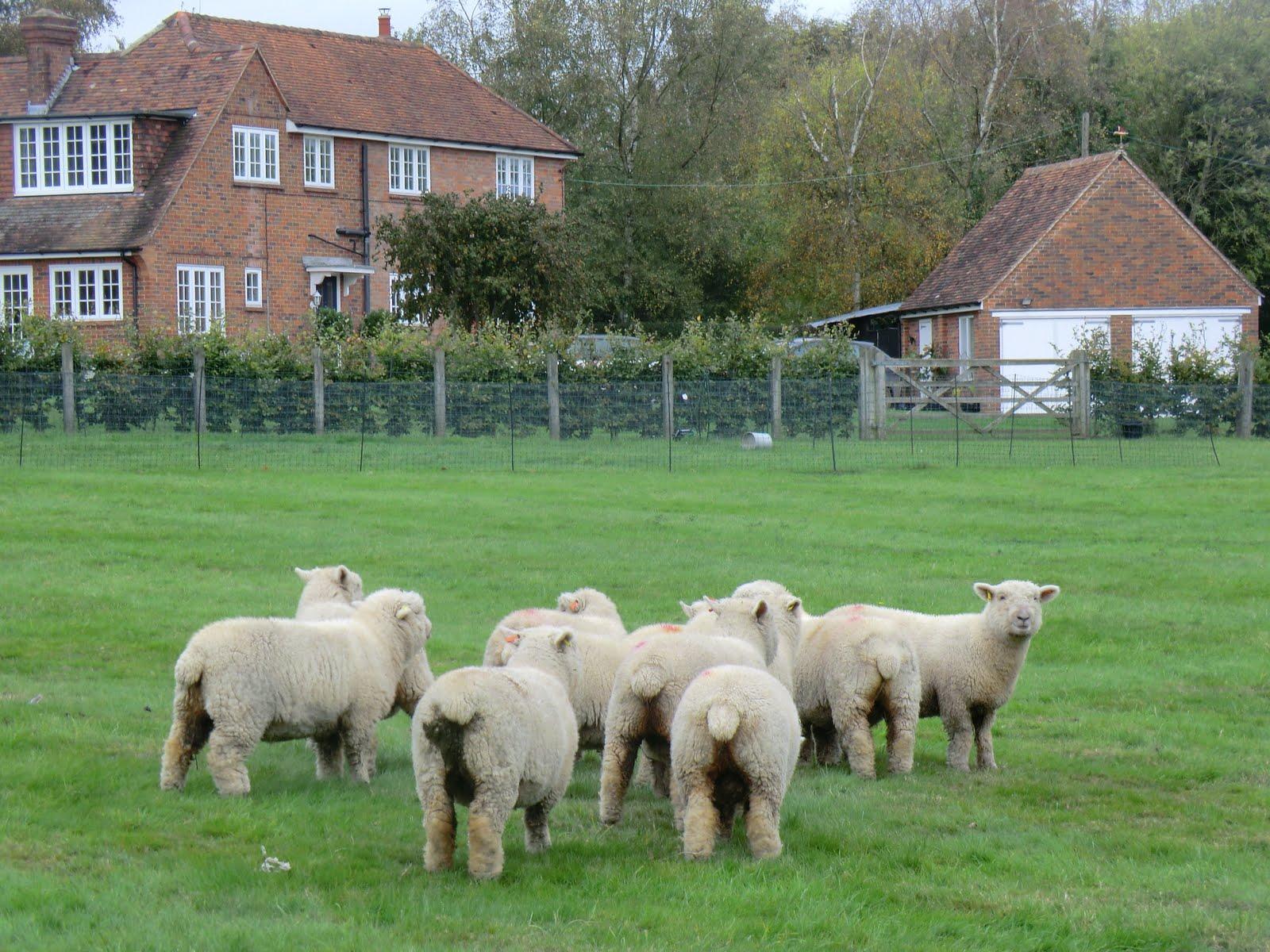 CIMG5175 Woolly sheep at Dunk's Green