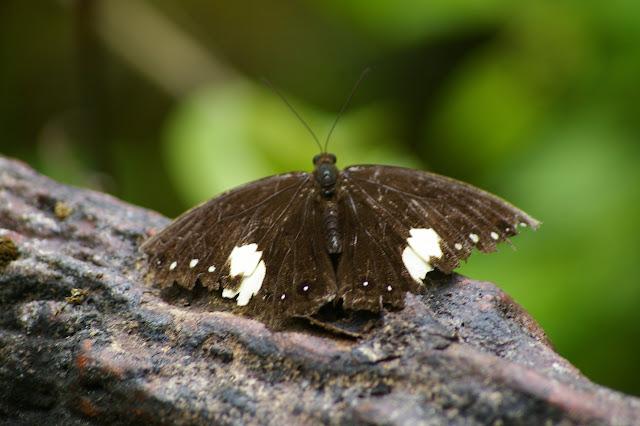 Neorina lowii lowii DOUBLEDAY, 1849. Poring (Sabah, Malaisie), 31 juillet 2011. Photo : J.-M. Gayman