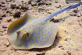 Blue-spotted stingray chilling in the sand (© 2008 Bernd Neeser)
