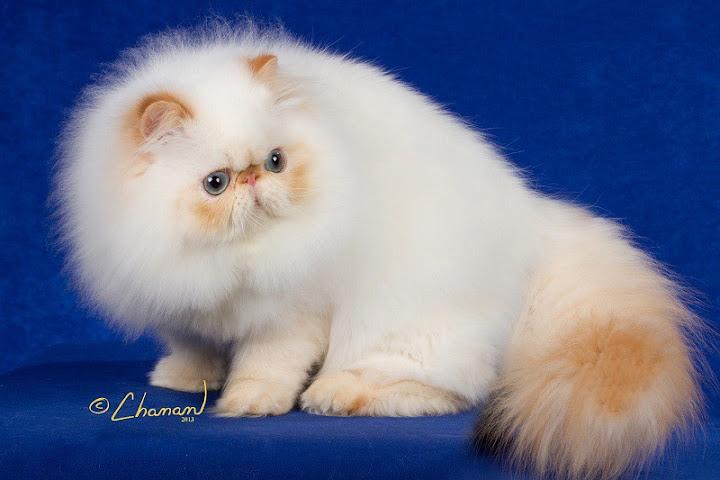Mèo Himalaya, mèo ba tư himalayan