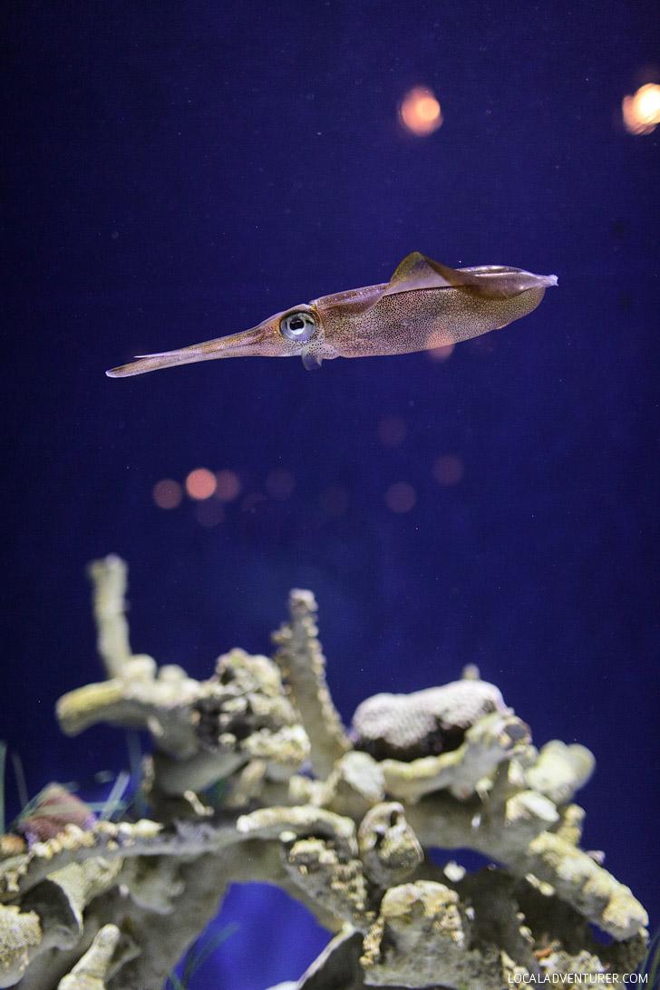 Bigfin Reef Squid (Monterey Bay Aquarium Animals).