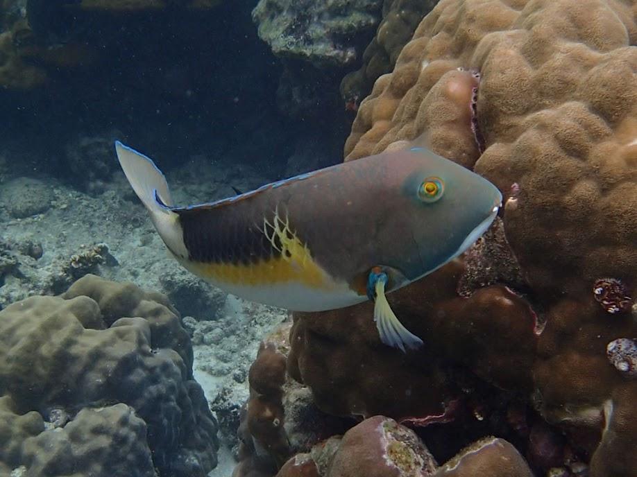 Choerodon anchorago (Anchor Tuskfish), Miniloc Island Resort reef, Palawan, Philippines.