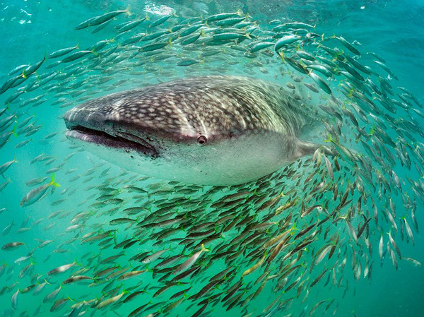 Китовая акула, полуостров Юкатан