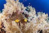 Anemone fish, Elphinstone (© 2015 Bernd Neeser)