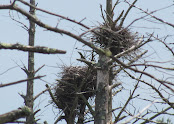 Heron Colony at Libby Hill-002.JPG