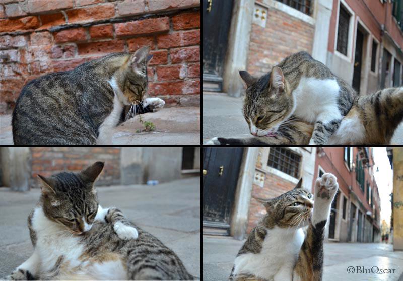 Gatti veneziani 31 07 2012 N 6