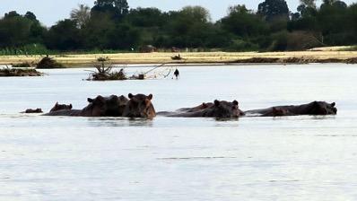 Hippos watching