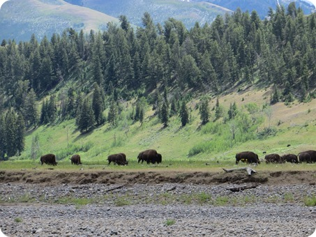 Lamar Valley Buffalo Herd