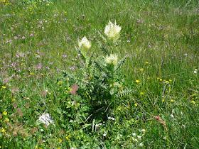 cirse tres epineux Cirsium spinisissimum Asteracees.JPG
