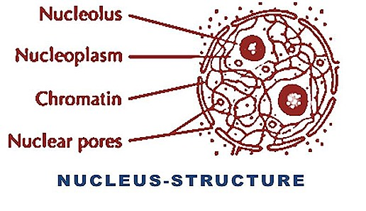 cell nucleus structure-function | biozoom, Human Body