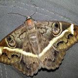 Erebidae : Erebinae : Cyligramma magus (GUÉRIN-MÉNEVILLE, 1832). Shai Hills (Ghana oriental), 25 décembre 2013. Photo : J.-F. Christensen