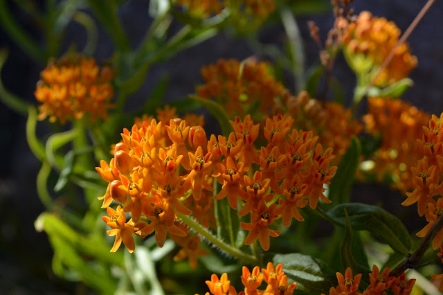 bright orange milkweed