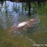 04-07-12 Homosassa Springs State Park - IMGP0039.JPG