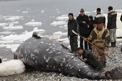 Прокуратура нашла нарушения при добыче серых китов аборигенами на Чукотке