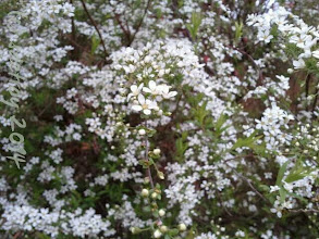 Photo: Spirea flower of my childhood. It is full on now. It is a short lived bloom, reminding me of birthdays and picnics from my childhood.