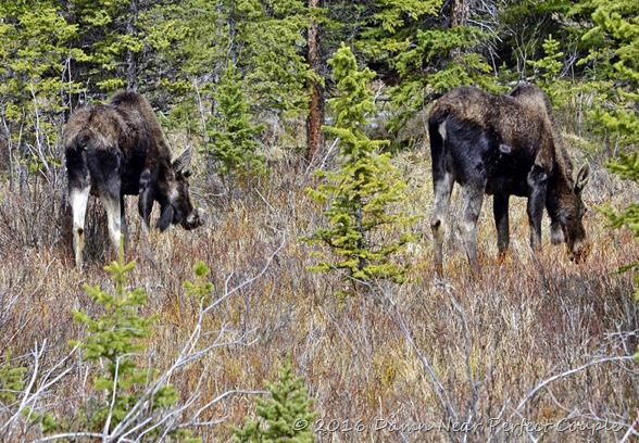 Bighorn Moose