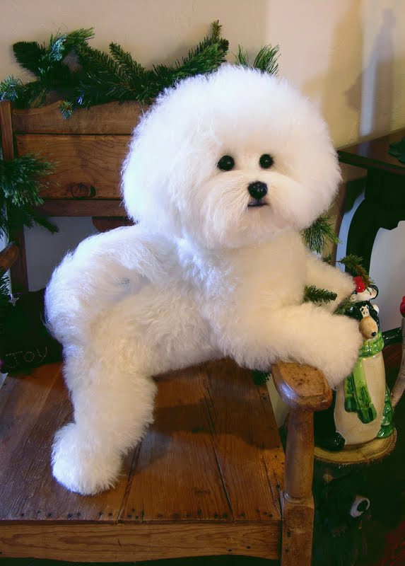 bichon frise haircut the gallery for gt maltese cut styles 4361