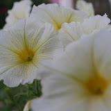 Gardening 2012 - IMG_2800.JPG