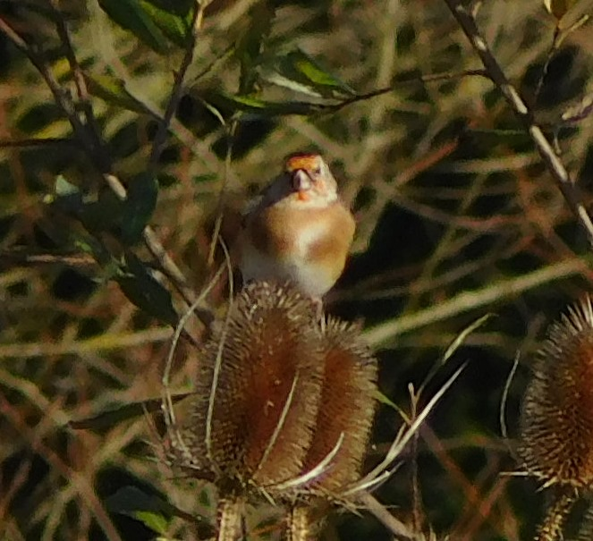 [3+goldfinch+on+teasel%5B7%5D]