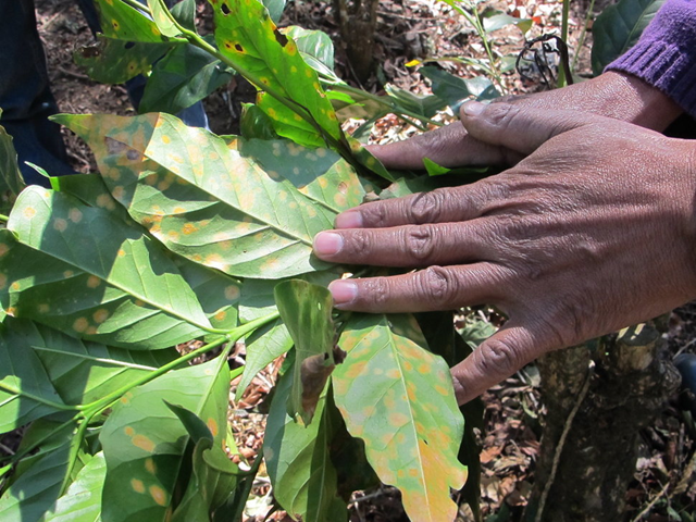 The early signs of coffee rust, a blight worsened by the impacts of climate change, on a coffee plant in Guatemala's dry corridor. Photo: Lauren Markham / The WorldPost