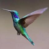 Colibrí volando, ave pequeña con colores brillantes y efecto de movimiento en la foto.