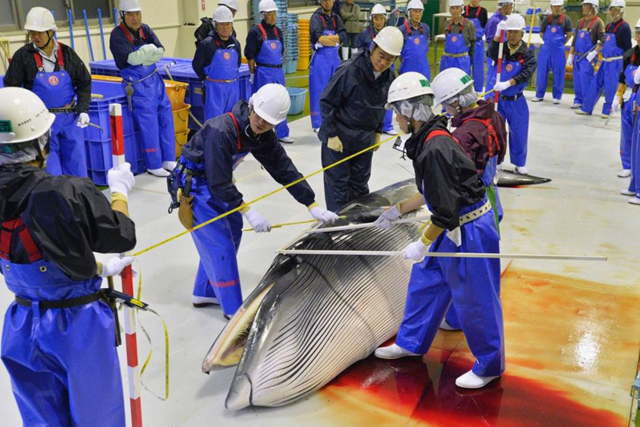 Japanese whale poachers inspect a slaughtered minke whale at the port of Ayukawa in 2014. Photo: Reuters / Kyodo