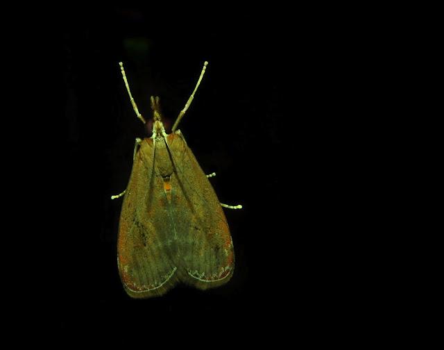 Crambidae : Odontiinae : Syntonarcha iriastis MEYRICK, 1890. Umina Beach (N. S. W., Australie), 22 décembre 2011. Photo : Barbara Kedzierski
