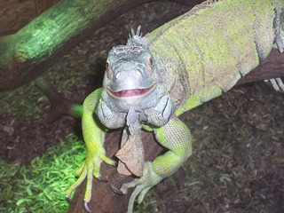 2008.07.01-058 iguane
