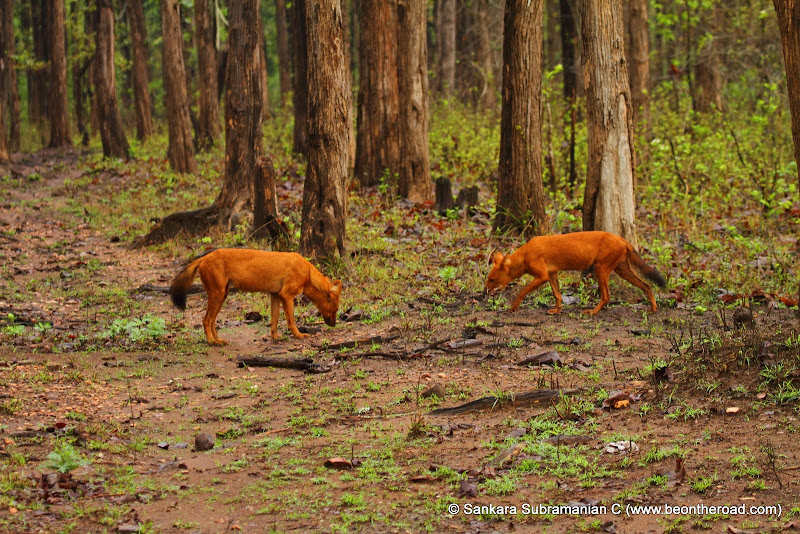 2 Wild Dogs at Nagarhole National Park