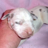blue harlequin female @ 1 week